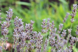lavender-882122_1920